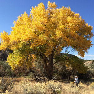 Cottonwoods, Santa Fe River Canyon