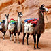 Llama Packing in Utah's Spectacular  Grand Gulch Wilderness